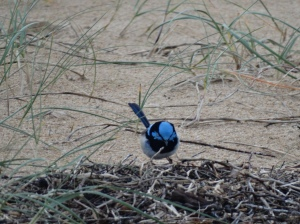 Brilliant male Superb Fairy-wren hopping in the sea grass on the beach