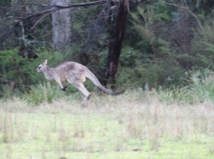 Large male Eastern Grey Kangaroo bounding across the paddock, grass, trees
