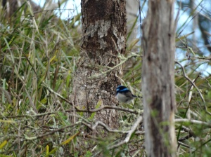 Male Superb Fairy Wren in the bush, not new but always stunning!, grass, trees, bushes