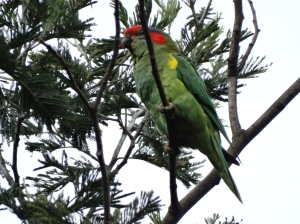The perfect camoflage - despite the colourful patches, when the lorikeet turns its back it becomes invisible!
