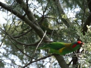 And towards the end I get this shot! Love it, this shows so much character of this bird!, gum tree, eucalypt