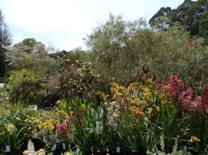 Every possible colour of Kangaroo Paw - forgive me for thinking there were two!