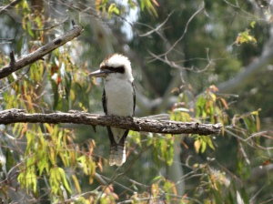 Fluffy headed Laughing Kookaburra preening high in the sky over Kuranga Nursery