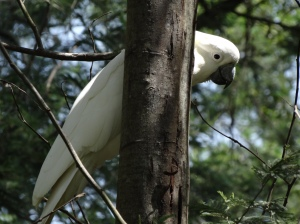 Playing Peekaboo with a Sulfur Crested Cockatoo!