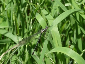 This is a Damsel Fly - I can't really tell them apart from Dragon Flies so I'm going on trust, green grass