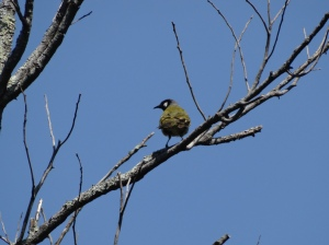 A White-eared Honeyeater flitting around in the dead trees on a perfect day at Birdsland Reserve
