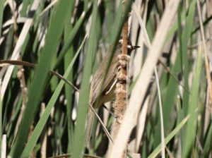 An Australian Reed-Warbler that lives up to it's name to a high degree, confounding us often by disappearing into the thick reeds and singing his heart out