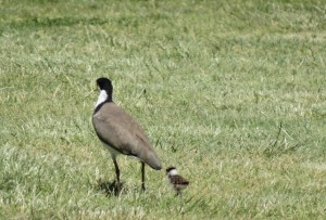 Mummy Masked Lapwing with tiny weeny baby - these must be very new because the plovers have been docile until this week; now they are savage!